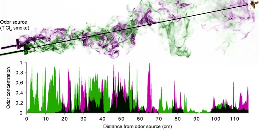 Odor plumes (monitored with TiCl4 smoke) break up into thin filaments. Odor filaments from different odor sources (green and magenta) intermingle. The area chart shows the flucuations of odor concentrations that would be encountered by an insect flying along the black line.